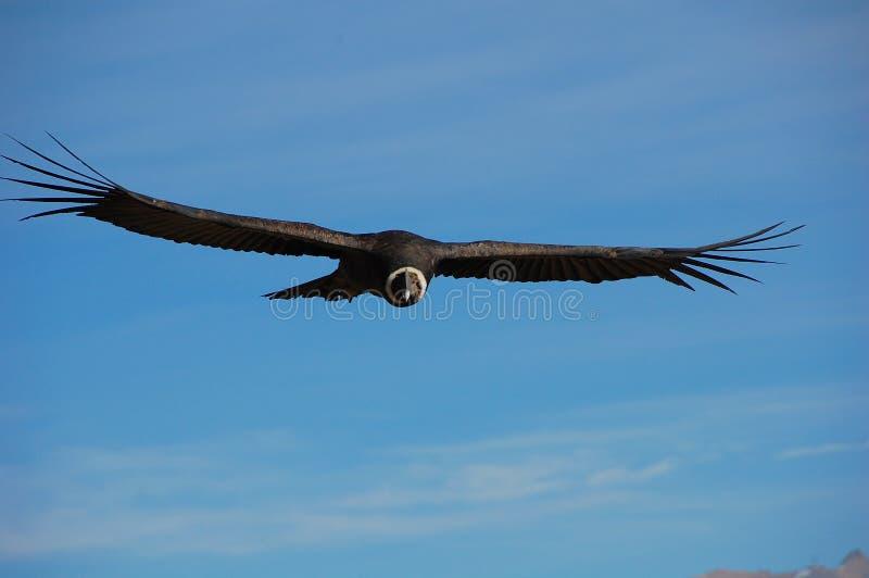 Condor andino fotografie stock
