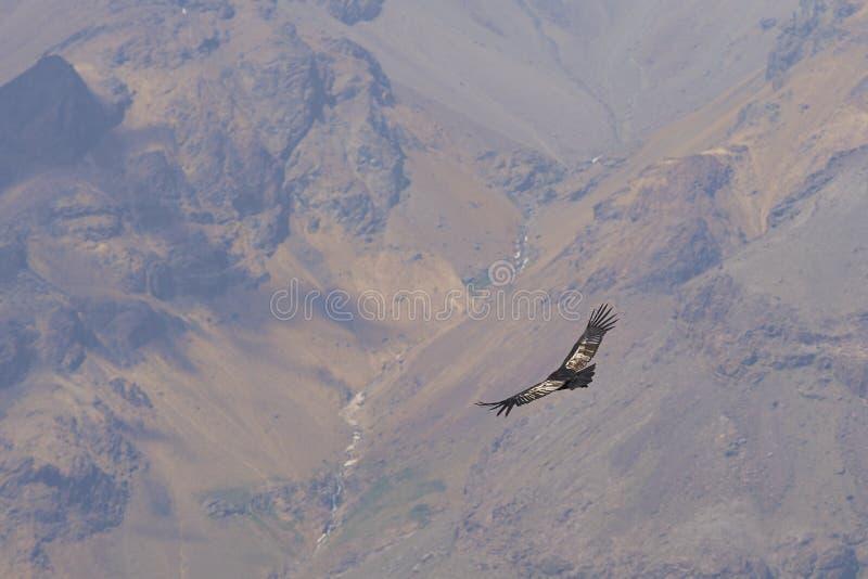 Condor andino - Cile fotografia stock libera da diritti