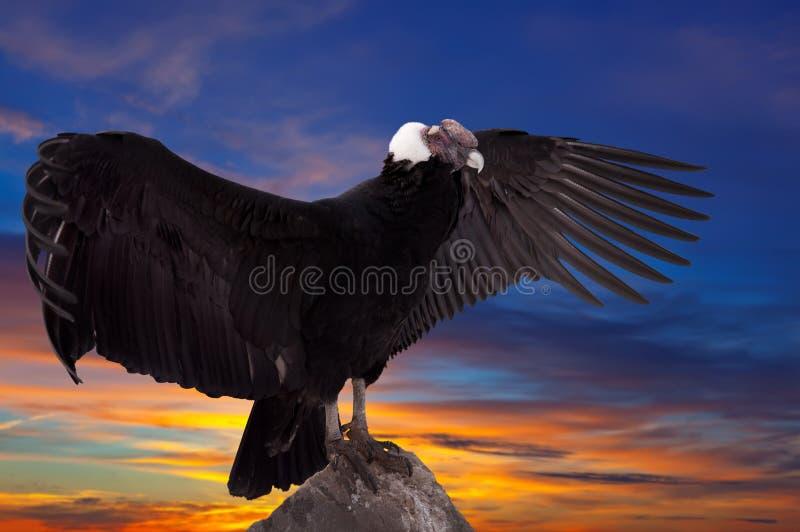Condor andino contro il cielo di tramonto fotografie stock