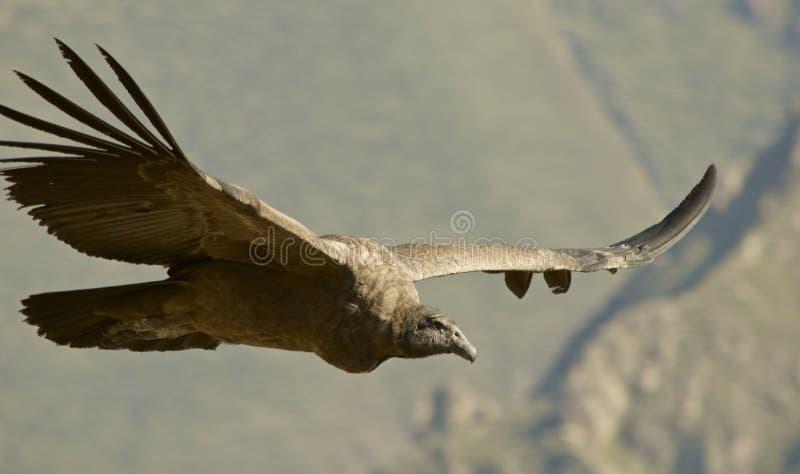 Condor andino durante il volo fotografia stock libera da diritti