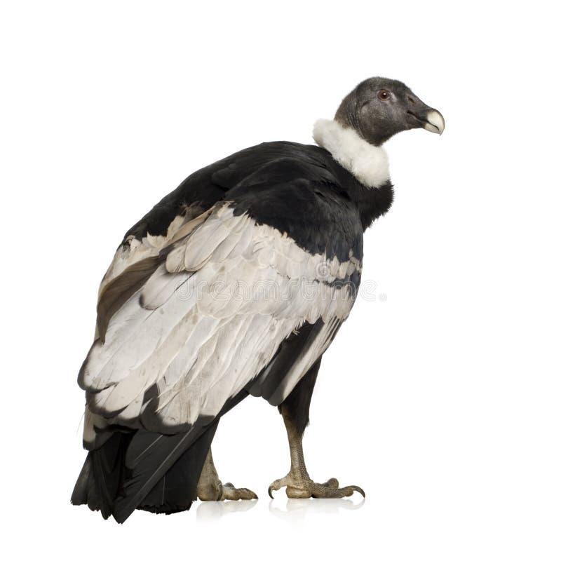 Condor andino - gryphus del Vultur (15 anni) immagine stock libera da diritti