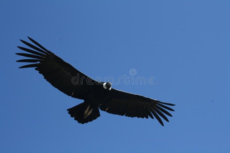 Condor andino (gryphus del Vultur) in canyon di Colca fotografie stock