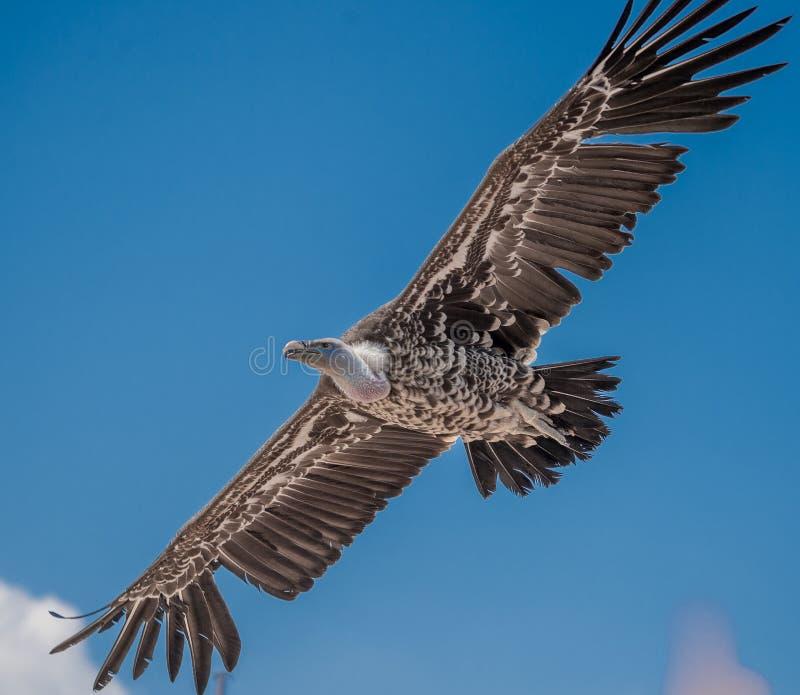 Condor apenas em voo no fundo do céu azul na mostra do verão imagens de stock
