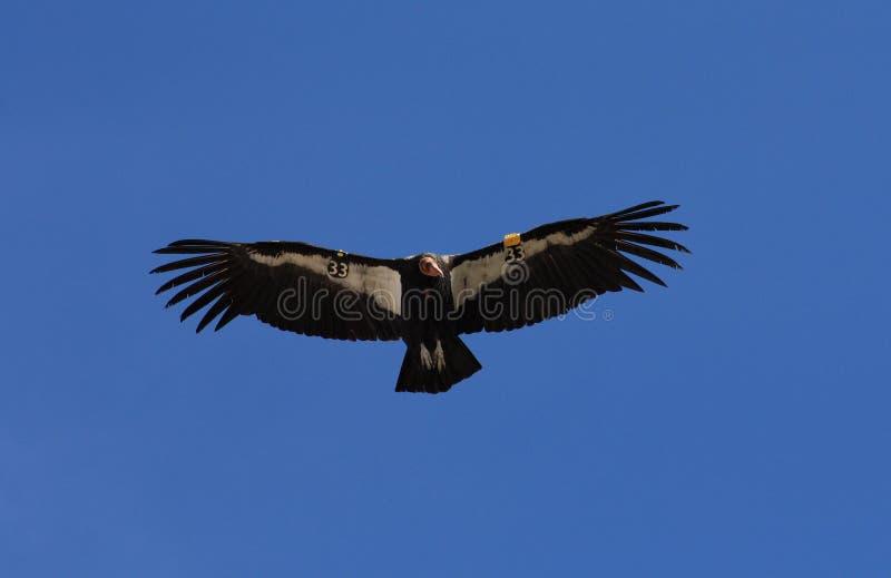 Condor californien en vol photos libres de droits