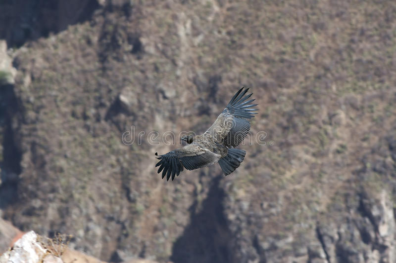 Download Condor in canyon stock image. Image of wildlife, wild - 12180809
