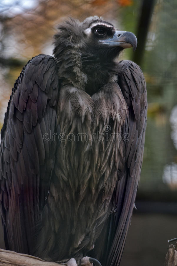 Condor. Close-up portrait in profile of predatory bird condor stock images