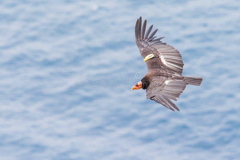 Condor de Califórnia imagens de stock