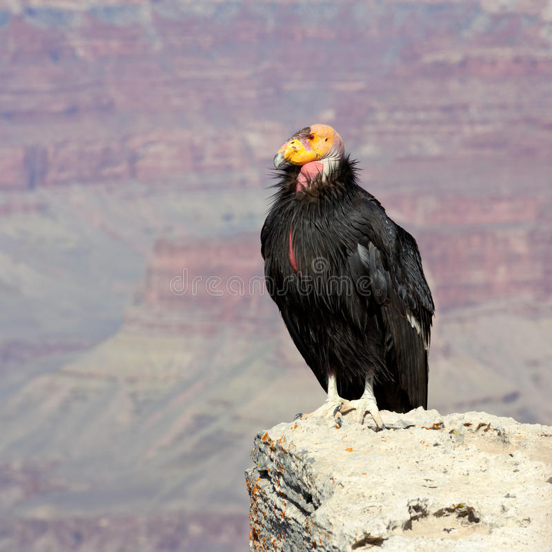Condor de Califórnia no parque nacional de garganta grande fotografia de stock