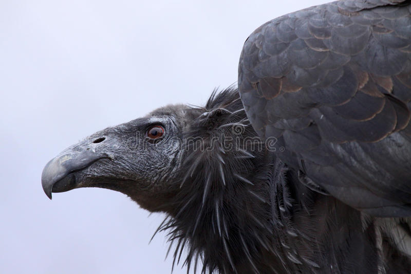 Condor de Californie photos libres de droits