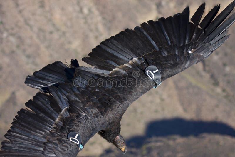 Condor di California fotografia stock libera da diritti