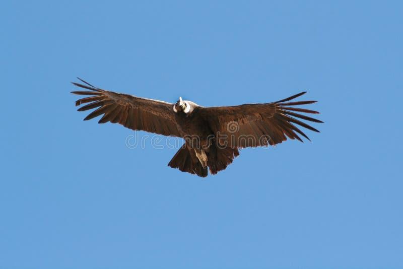 Condor die 3 vliegt stock afbeeldingen