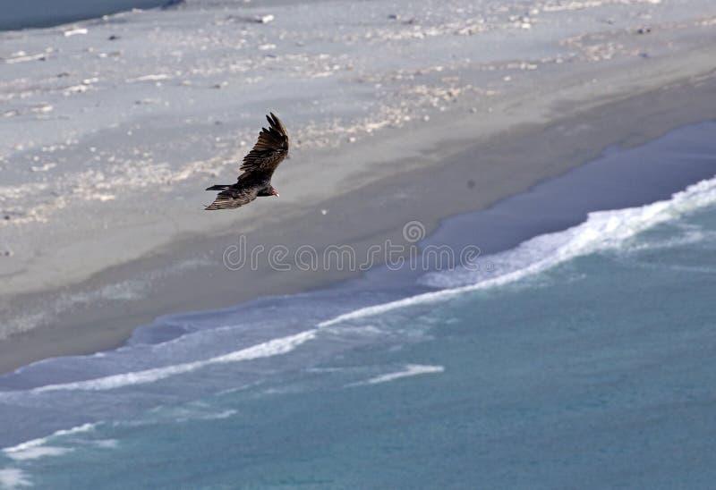Condor die in Californië vliegen stock fotografie