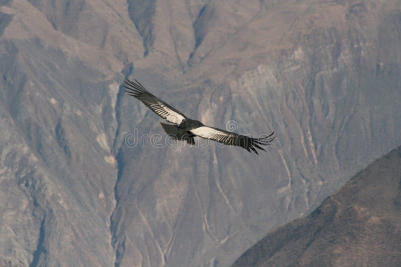 Condor die door canion vliegt stock afbeelding