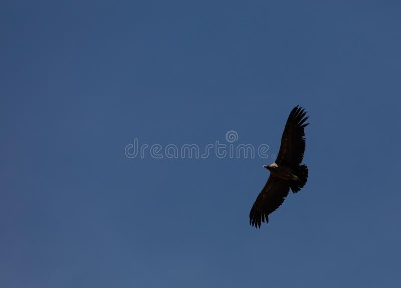 Condor die in Peru vliegen royalty-vrije stock afbeelding
