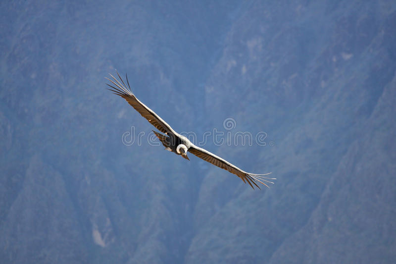 Condor do voo sobre a garganta de Colca no Peru, Ámérica do Sul. fotos de stock royalty free