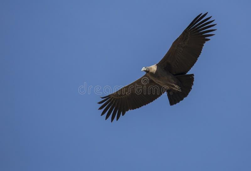 Condor het vliegen stock foto's