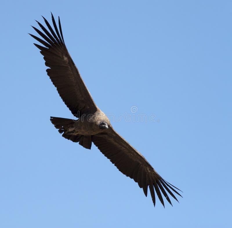 Condor met uitgespreide vleugels stock foto