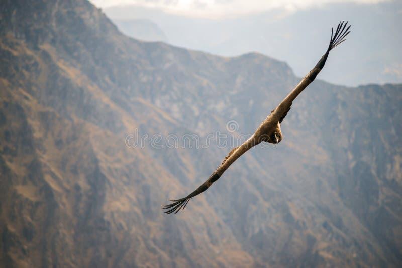 Condor over bergen stock foto's