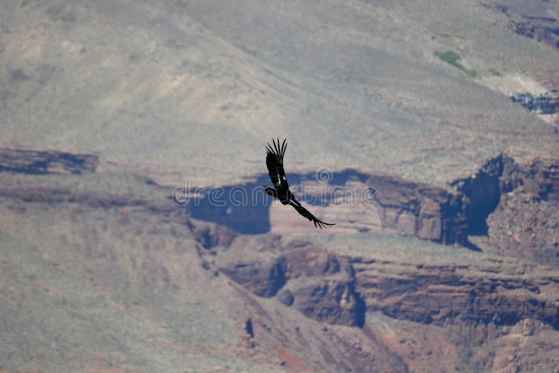 Condor over Grote Canion stock afbeeldingen