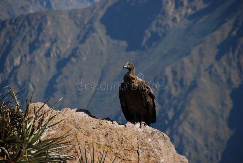 Condor in Peru royalty-vrije stock foto