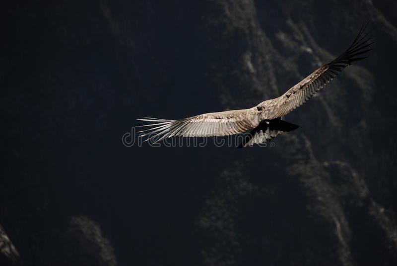 Condor in Peru royalty free stock photos