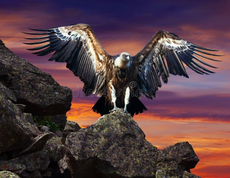 Condor se reposant sur la pierre contre le ciel de coucher du soleil photo stock