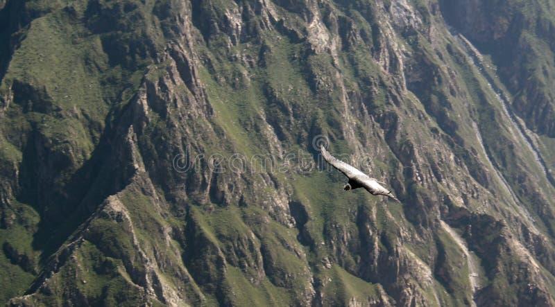 Condor sopra il canyon di Colca al punto di vista dell'incrocio o di Cruz Del Condor del condor, Chivay, Perù fotografia stock