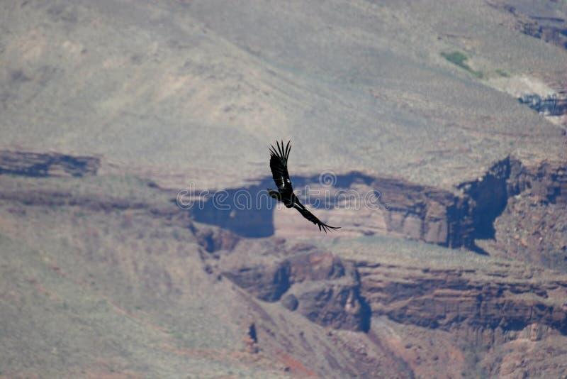 Condor sopra il grande canyon immagini stock