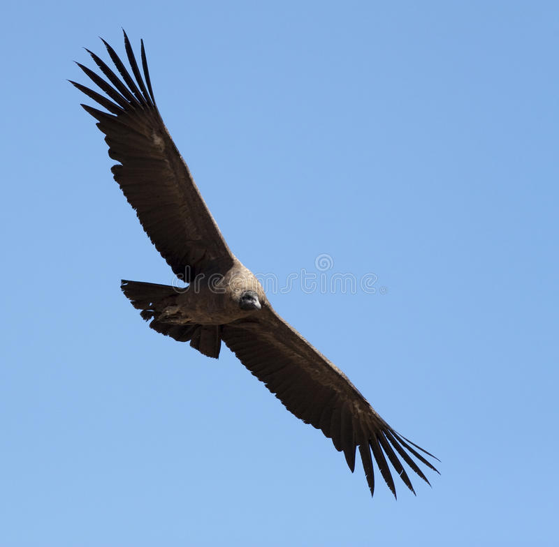 Condor with spread wings stock photo
