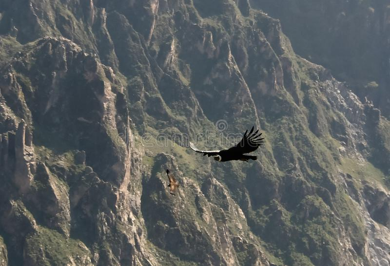 Condors boven de Colca-canion bij Condorkruis of Cruz Del Condor-gezichtspunt, Chivay, Peru royalty-vrije stock afbeeldingen
