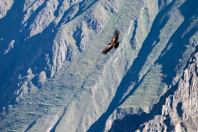 Condorvlucht stock afbeelding