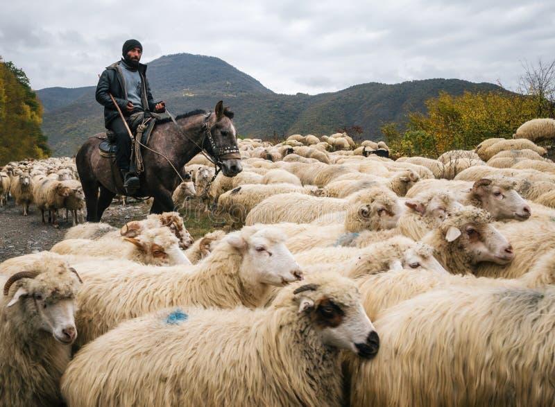 Conduca con il cavallo da equitazione del truffatore ed il gruppo di branco di pecore fotografie stock libere da diritti