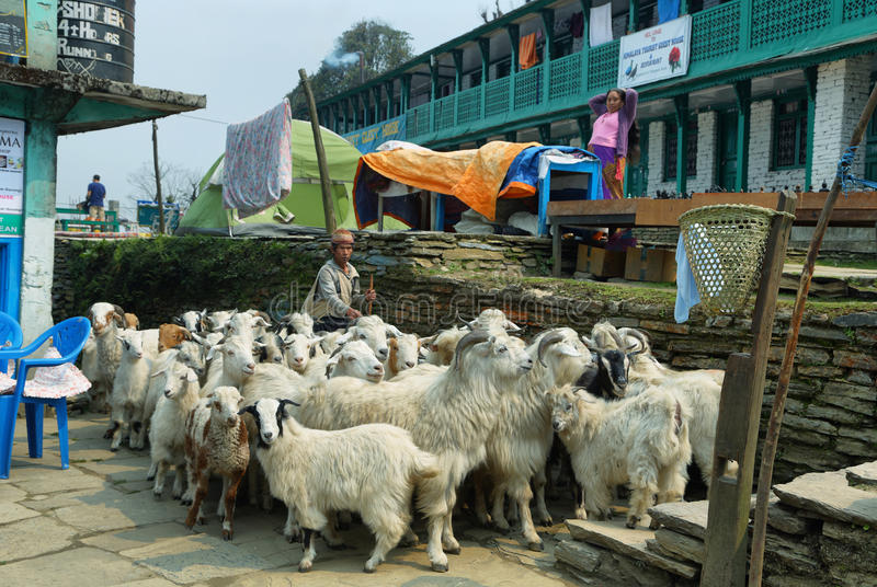 Conduca con una moltitudine di capre nel Nepal fotografia stock libera da diritti