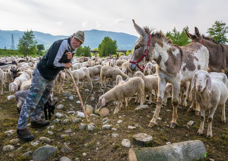 Conduca e moltitudine di pecore e di asini nel prato di verde della natura fotografia stock