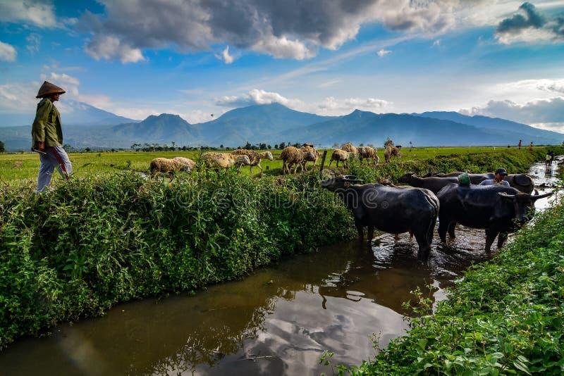 conduca il bestiame nei campi e nella montagna fotografia stock libera da diritti