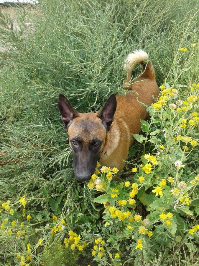 Conduca il cucciolo che gioca nelle erbacce 1 di 2 immagini stock