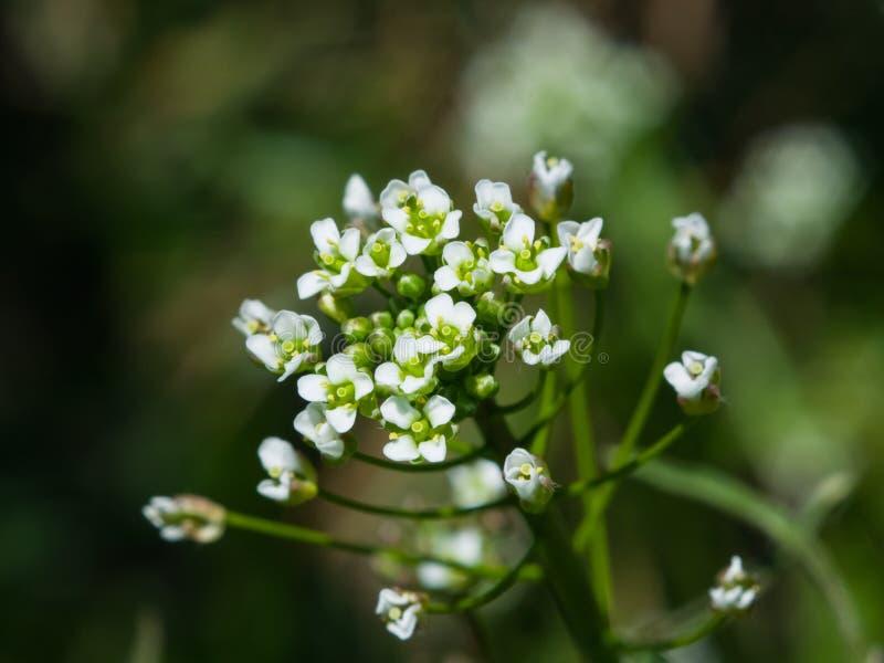 Conduca il primo piano della s-borsa del ` o dei fiori di capsella bursa pastoris, il fuoco selettivo, DOF basso immagini stock