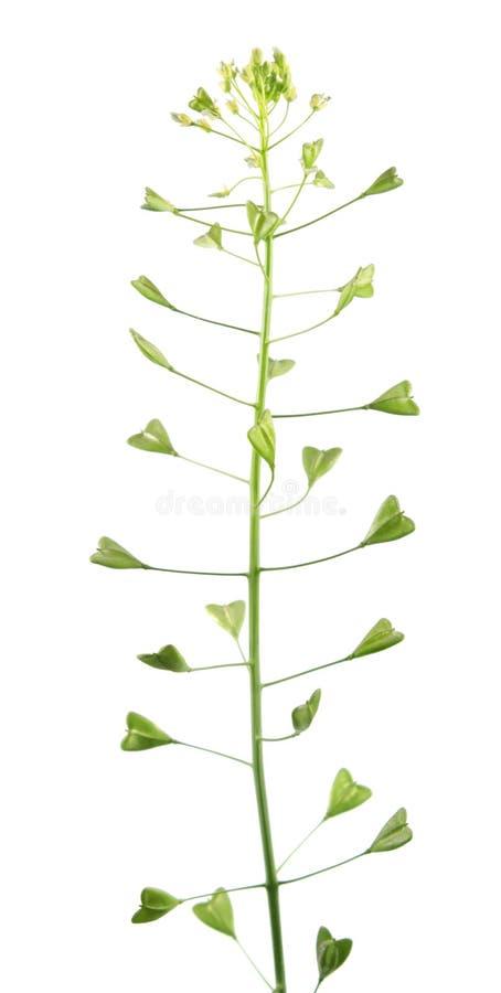 Conduca la pianta o il capsella bursa pastoris con i fiori ed i frutti della borsa del ` s isolati su fondo bianco fotografie stock libere da diritti