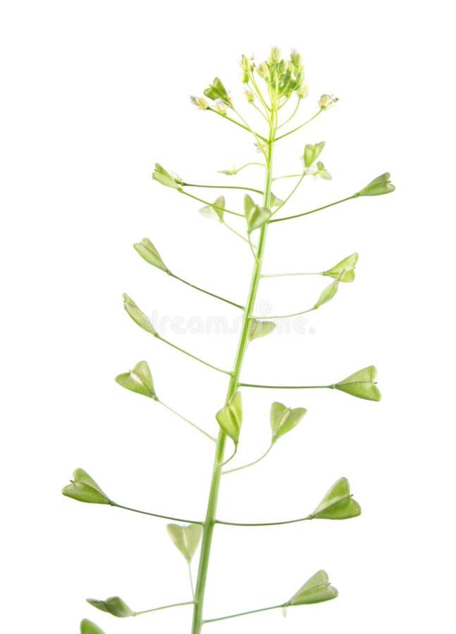 Conduca la pianta o il capsella bursa pastoris con i fiori ed i frutti della borsa del ` s isolati su fondo bianco fotografie stock