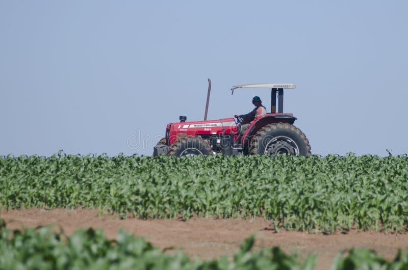 Conducción de un tractor en campo de maíz imagen de archivo libre de regalías