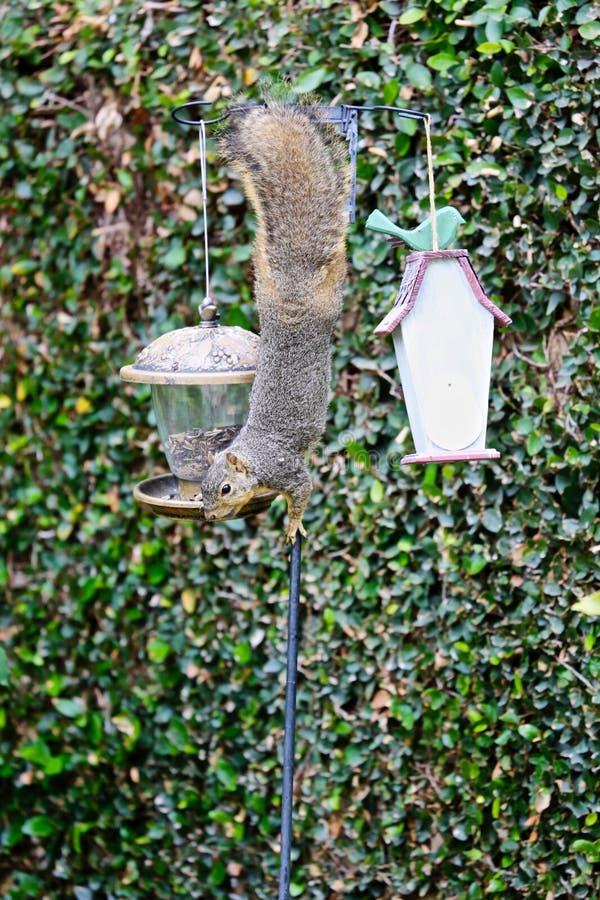 Conducteur d'oiseau d'écureuil images libres de droits