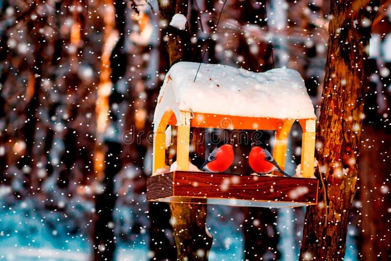 Conducteurs d'oiseau avec le bouvreuil Un conducteur fait maison en bois d'oiseau sur l'arbre Conducteur d'oiseau d'hiver en parc image libre de droits
