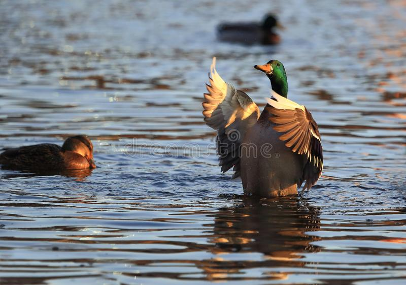 Conductor of a duck orchestra. The conductor of the duck orchestra waved his wings like before the performance royalty free stock photos