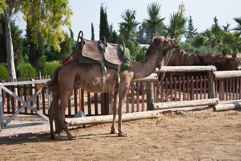 Conduite d'un chameau photos libres de droits