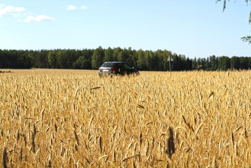 Condurre un'automobile nel grano, foresta nei precedenti immagine stock libera da diritti
