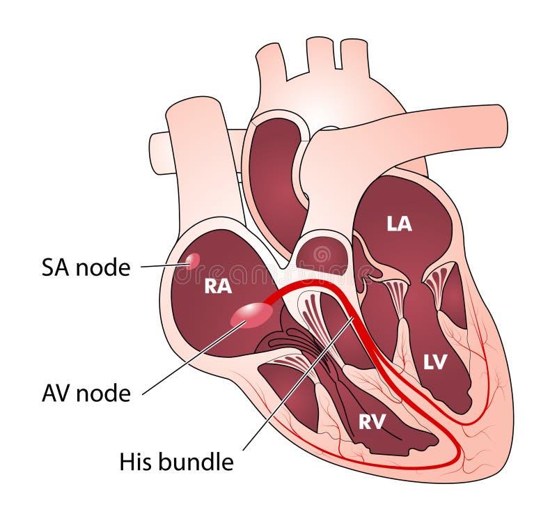Conduzione elettrica del cuore illustrazione di stock