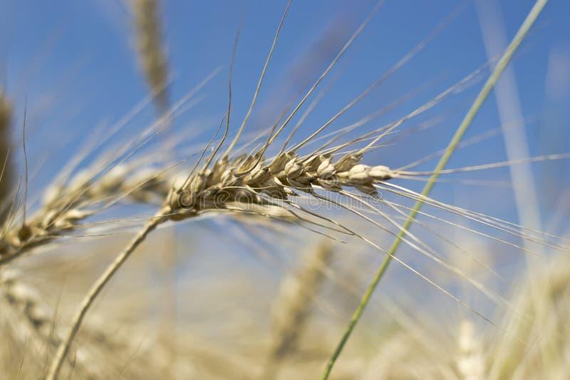 Download Cone stock image. Image of bread, wheat, cone, down, plant - 25917585