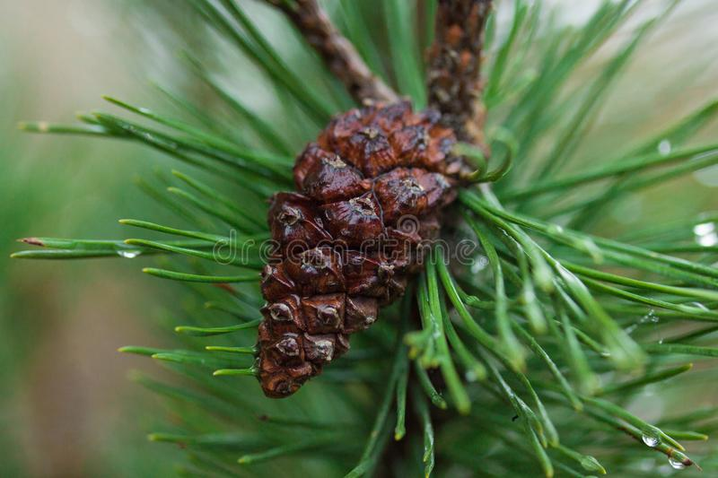 A cone on the branch. Wet cone on the fir-tree green branch with dew royalty free stock image