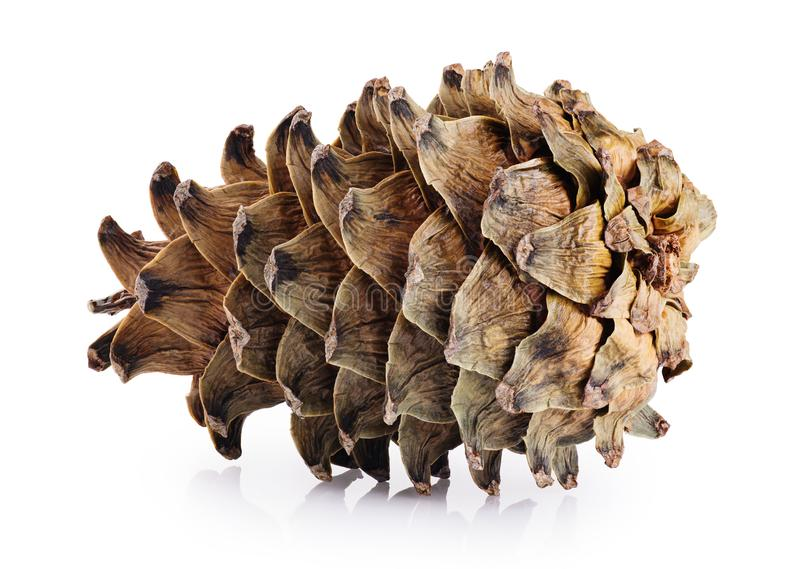 Cone of cedar pine isolated on white background. With clipping path royalty free stock photography