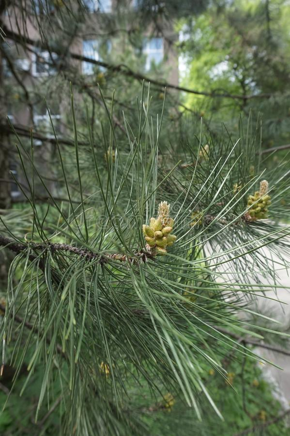 A cone of coniferous evergreen pine tree in the park stock photography